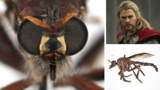 The Thor fly, or Daptolestes bronteflavus, meaning blond thunder